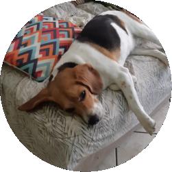 Massaneta Raça Beagle