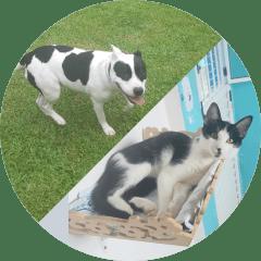 Luna Raça Staffordshire Bull Terrier e o Gato Tito
