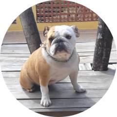 Betina Raça Bulldog Inglês